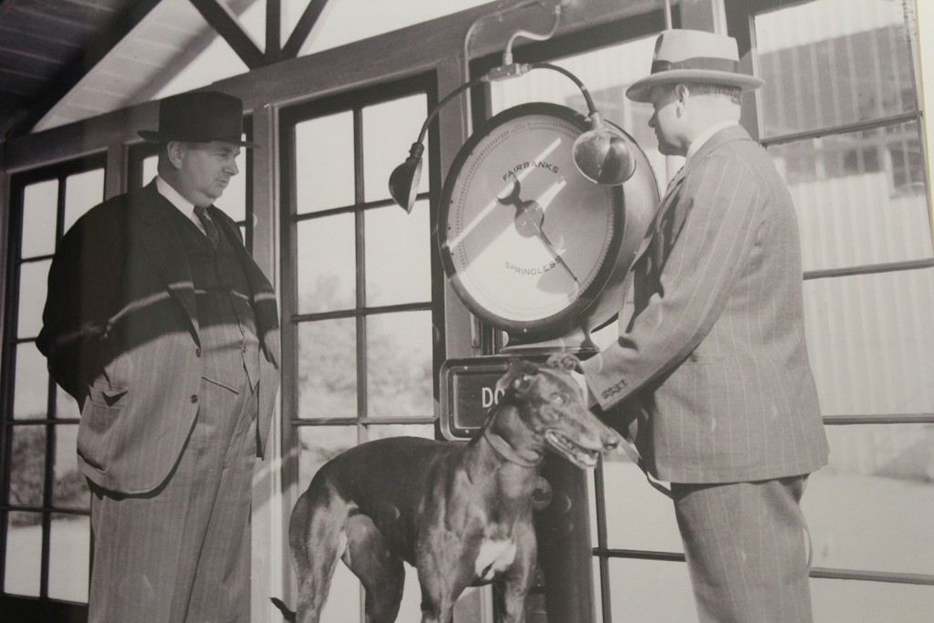 A greyhound being weighed in before racing in the early days of the Jacksonville Kennel Club